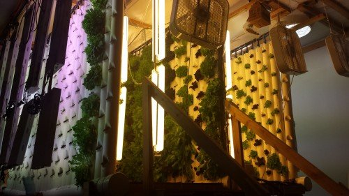 Lettuce growing on the walls of the garden module Jim Sbarra designed.